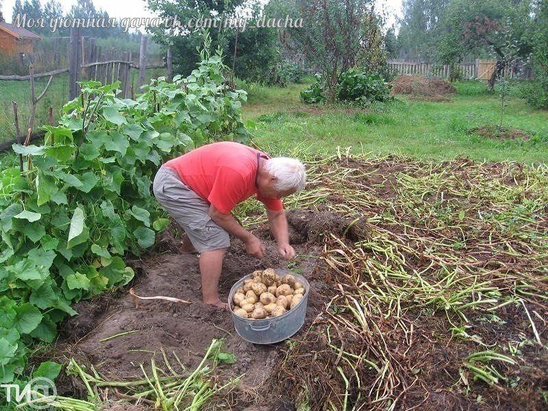 В Тверской области собирают тонну картофеля с сотки, несмотря на засуху. Уникаль...