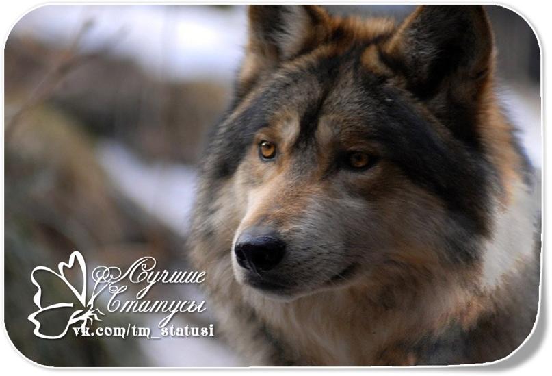 А волки гораздо добрее людей,