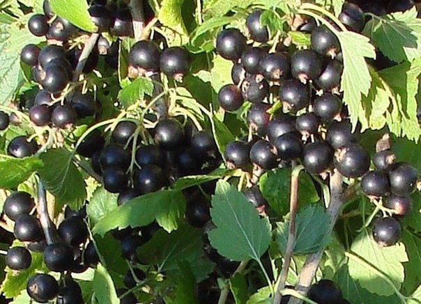 6 советов по размещению смородины в саду  1. Черная...