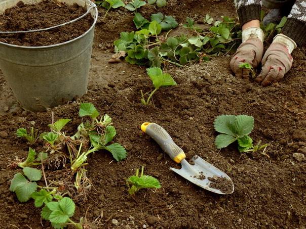 Все о посадке клубники в августе  Соблюдение правил агротехники...