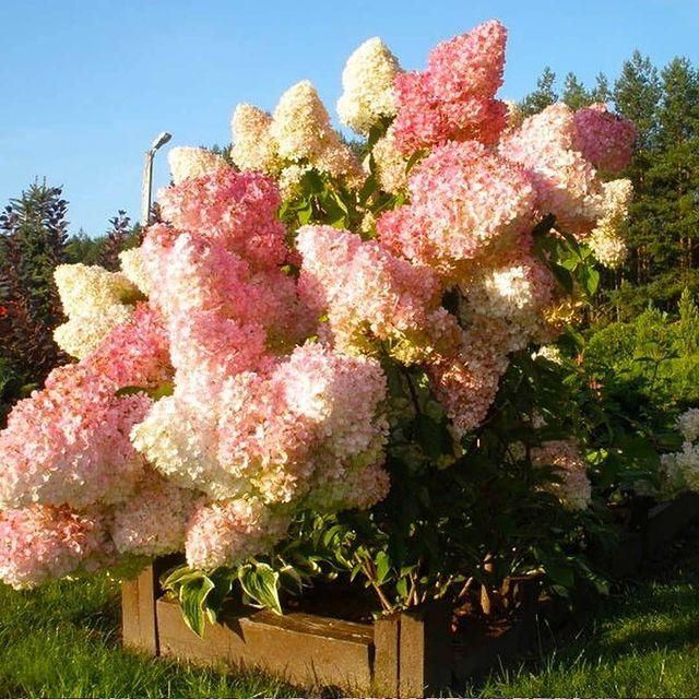 Гортензия Сандей Фрайз — незаменимый цветущий кустарник для украшения садового у...