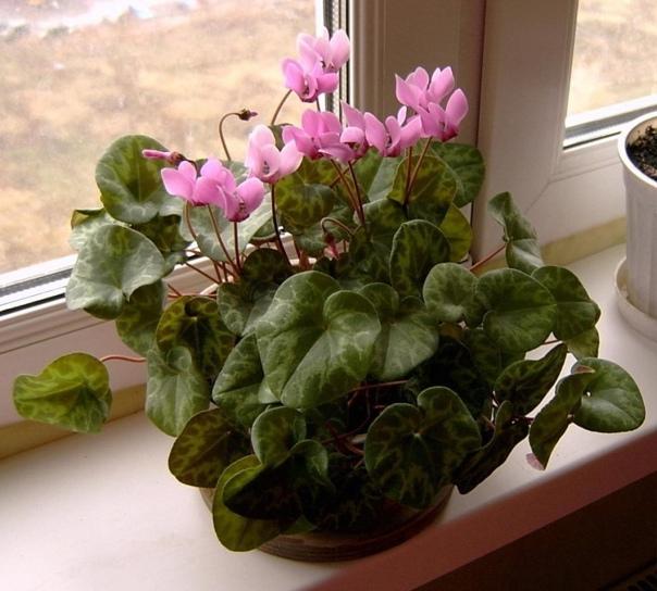 Почему не цветет цикламен?  Цикламен – прелестное горшечное растение!...