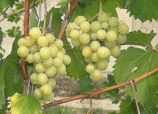СУПЕРПОДКОРМКУ ДЛЯ ВИНОГРАДА ДЕЛАЮ САМ  Заниматься виноградом я...