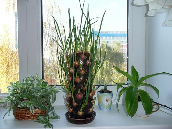 Идея для выращивания лука на подоконнике  зеленый лук...