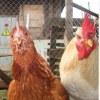Инкубационное яйцо, цыплята, Волгоград
