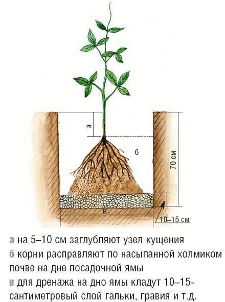 Как и куда правильно посадить клематис!  Знаете ли вы,...