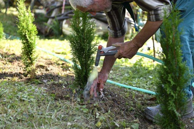 Что делать с туями в конце лета и осенью: 5 обязательных процедур для успешной зимовки.