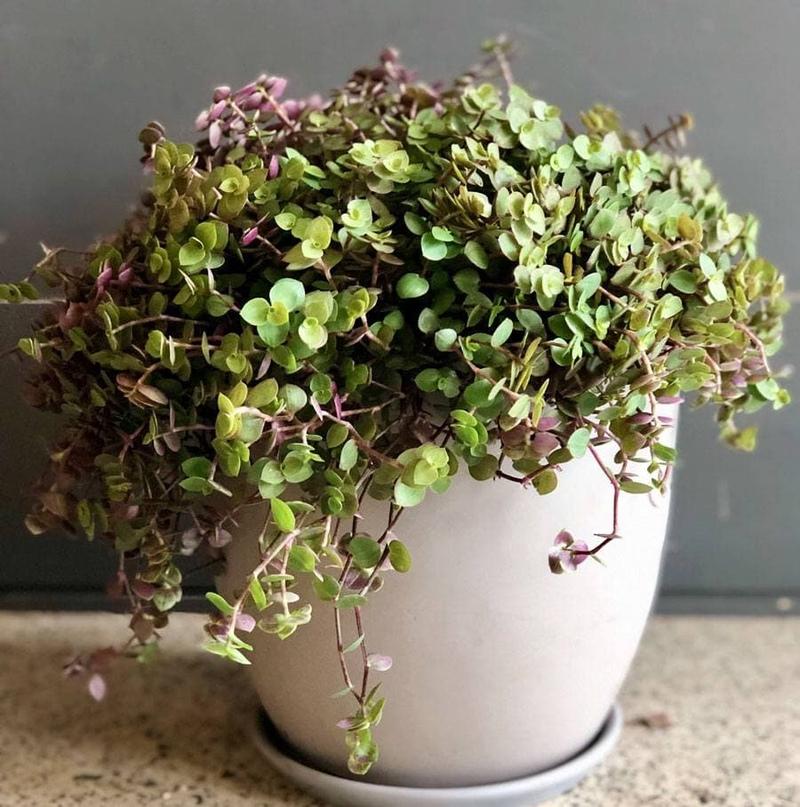 Каллизия - многолетнее травянистое вечнозеленое растение, является представителе...