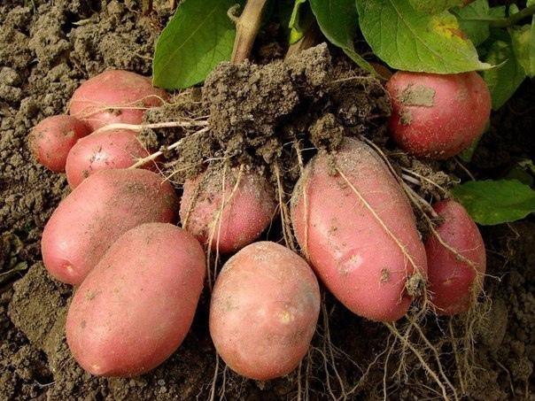 7 способов выращивания картофеля