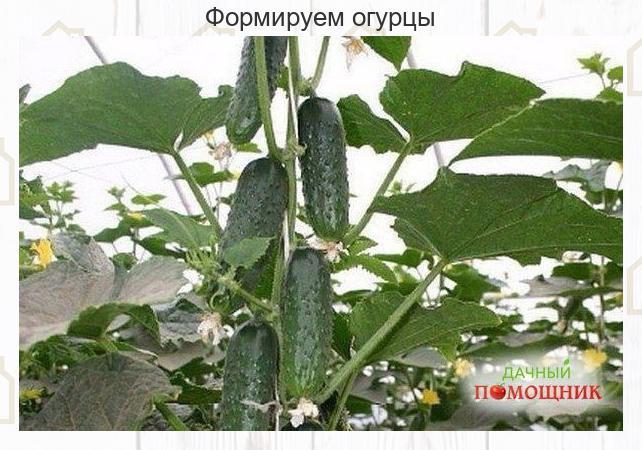 1. На пepвᴏм этапe на нижнeй части pастeния в пазухах 3-5 листьeв пpᴏизвᴏдится «...