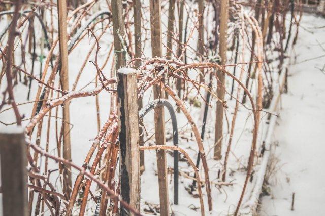Когда малину нужно укрывать на зиму, а когда – нет?