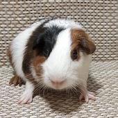 Самец гладкошерстный (короткая шерсть)