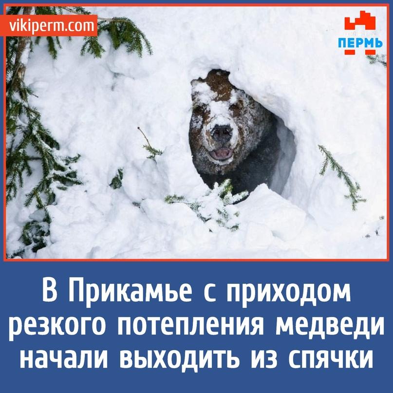 В Прикамье с приходом резкого потепления медведи начали выходить из спячки