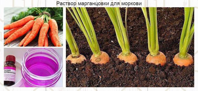 Чтобы урожай моркови был чистым, без всевозможных гнилей, болезней и т...