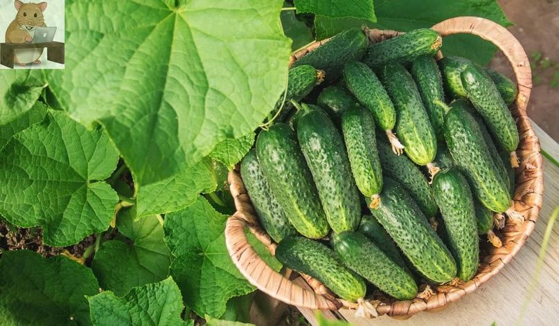 3 способа выращивания огурцов🥒 Плюсы и минусы