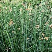 Камыш озерный, Scirpus lacustris, зеленый лист, C3
