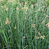 Камыш озерный, Scirpus lacustris, зеленый лист, C7,5