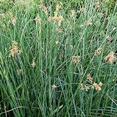 Камыш озерный, Scirpus lacustris, зеленый лист, C5