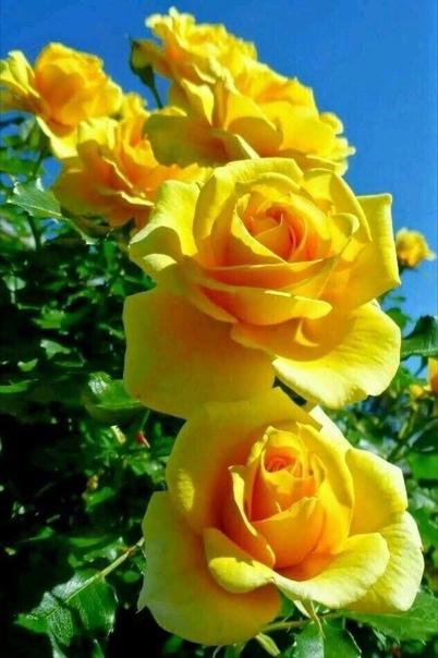 Яркие желтые розы!