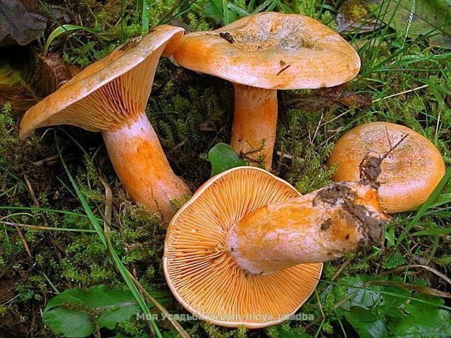 1. Засолка грибов - холодный способ.