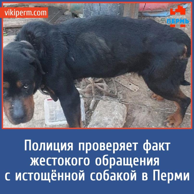 Полиция проверяет факт жестокого обращения с истощённой собакой в Перми