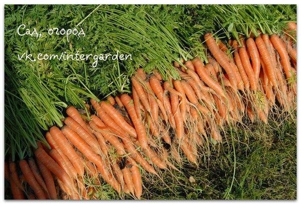 """Морковные премудрости. Опыт выращивания  """"Правильные"""" борозды  Лучшие предшественники для моркови..."""