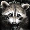 Team Raccoon