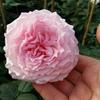 Питомник Розебук. Купить саженцы роз