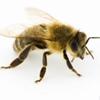 Честная пчела ПЧЕЛИЧ|Пчеловодство|