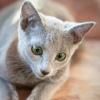 Русские голубые кошки. Питомник swaldiphary