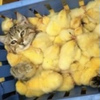Суточные замороженные цыплята, миксы