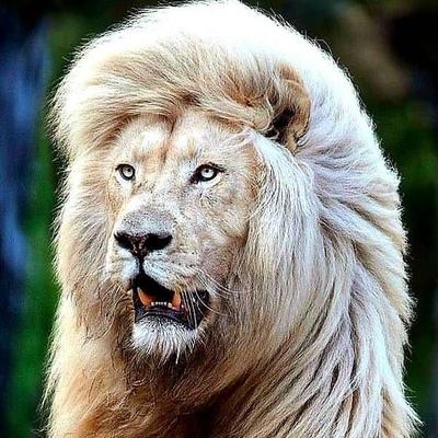 Тигр Белый